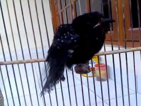 Kedasih Hitam Surniculus Lugubris Mp4 Youtube