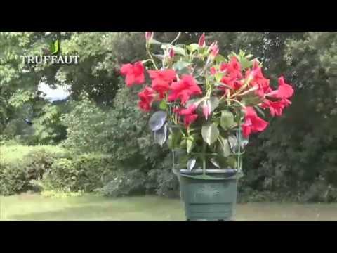 Introduction Au Dipladenia Jardinerie Truffaut Tv Youtube