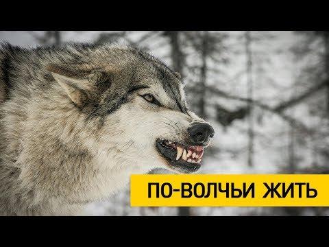 Бросается и рвёт ! Жуткие подробности нападения волка в Столбцовском районе