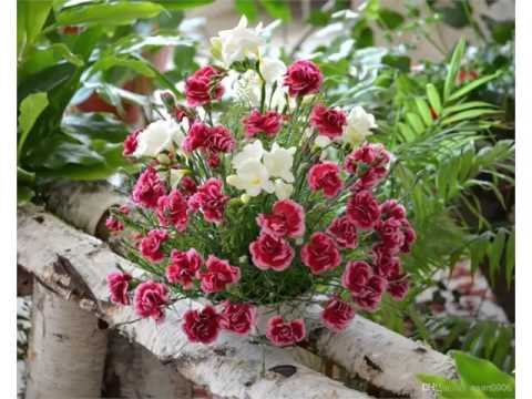 Carnation Flower Garden | Colorful Canation Beautiful Pictures