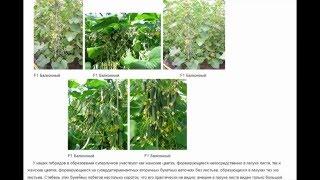 Суперпучковые огурцы(Суперпучковые огурцы У большинства сортов и гибридов огурца в пазухах листьев формируются одиночные или..., 2016-03-23T15:38:38.000Z)