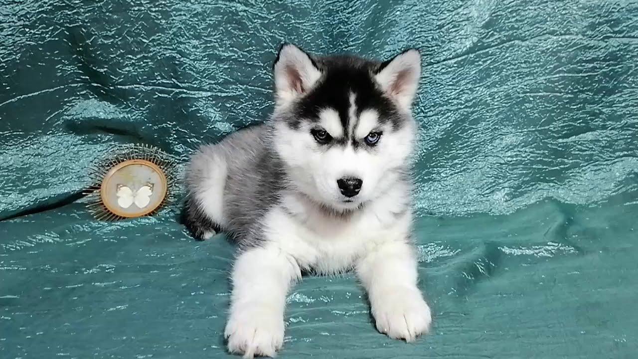 Предлагаем девочку щенка хаски чёрно-белую, родилась 10 декабря 2020 года