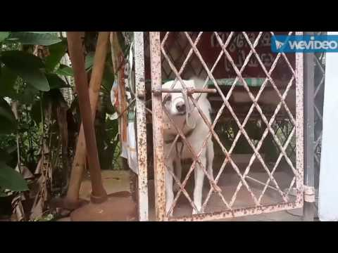 Clever Pomeranian dog escape the cage by sliding the lock.