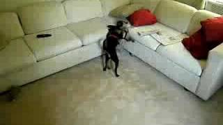 Pug And Min Pin