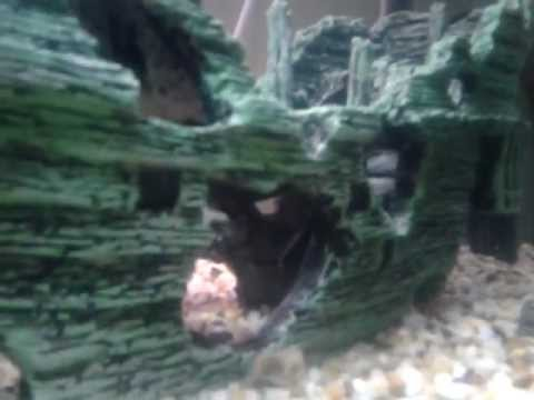 African feather fin catfish from YouTube · High Definition · Duration:  1 minutes 38 seconds  · 82 views · uploaded on 5/30/2012 · uploaded by Derek Toughlian