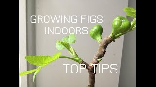 Growing FIG TREES Indoors: Top TIPS