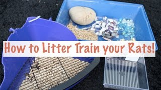 How to Litter Train your Rats | Rat Care