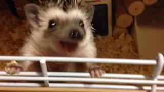 生後3ヶ月のハリネズミのペグちゃん。おやつのミルワームに目がなくて、今日はケージから出そうな勢いでした(笑)