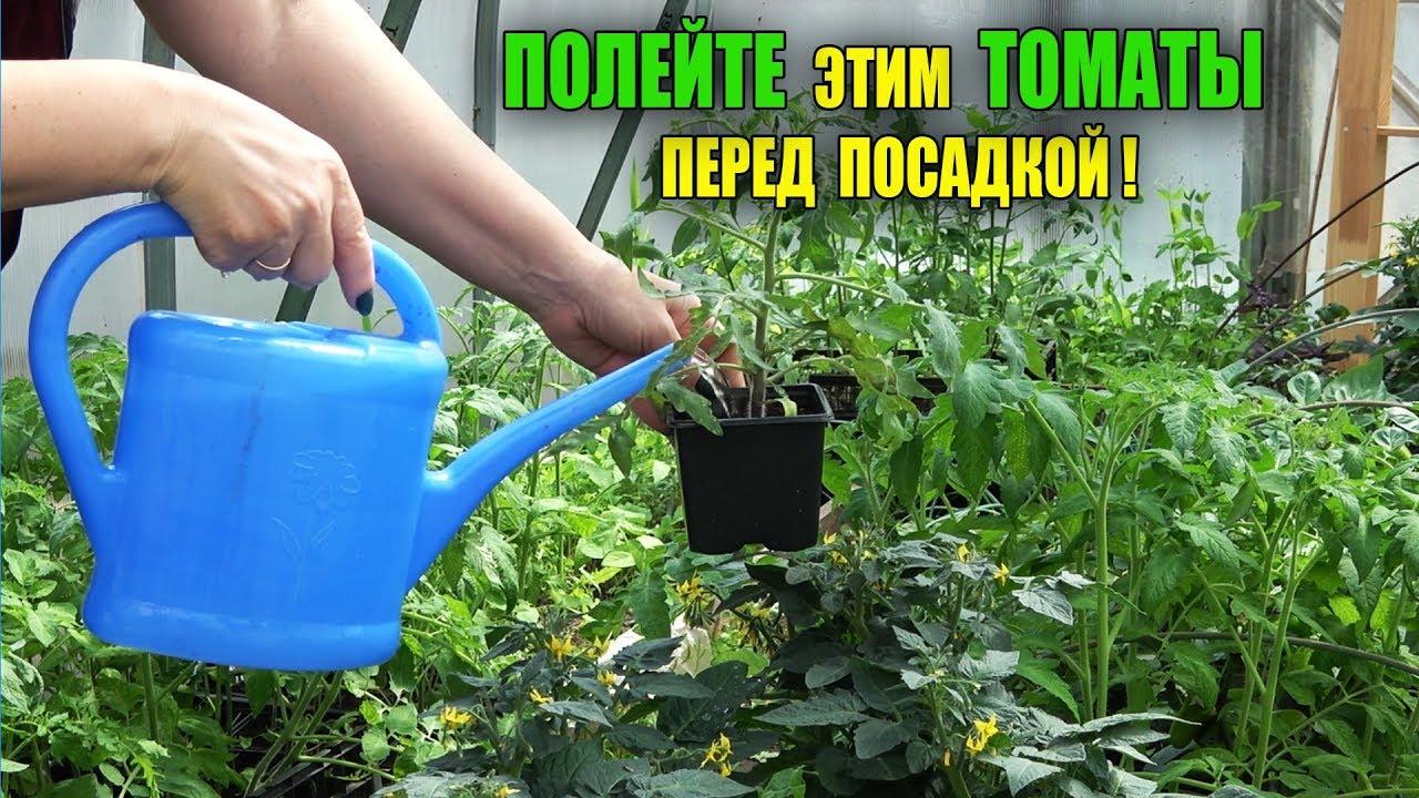 СРОЧНО ПОЛЕЙТЕ ЭТИМ ТОМАТЫ ПЕРЕД ПОСАДКОЙ!!!