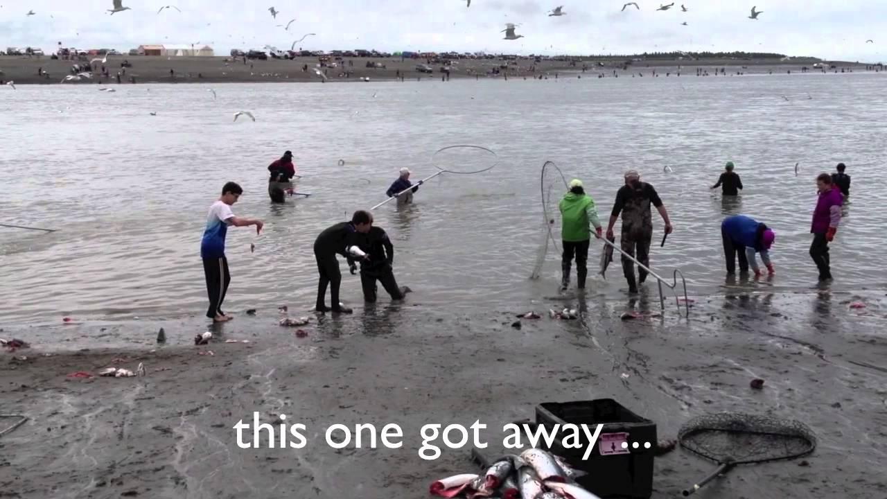 Dipnetting for sockeye salmon on the kenai river in kenai for Kenai river fish counts