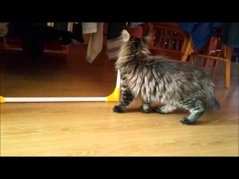 Yego of Maine Coon Castle - Welcome Home