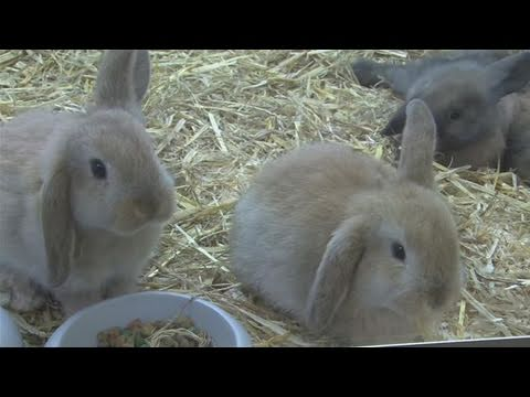 how to take care of a mini lop rabbit youtube. Black Bedroom Furniture Sets. Home Design Ideas