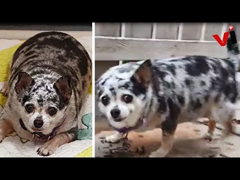 Abandoned Chubby Chihuahua Gets Second Chance At Life In More Ways Than One!