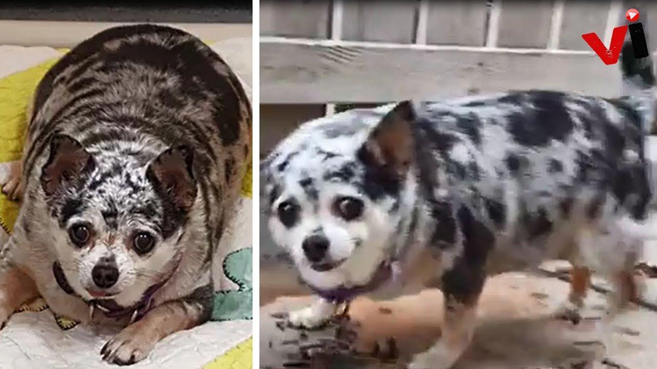Good Chihuahua Chubby Adorable Dog - maxresdefault  Graphic_944179  .jpg