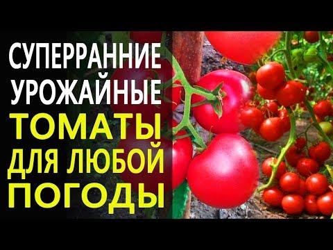 Ранние и суперранние урожайные томаты с отменным вкусом. Топ томатов от Гавриш. | суперранний | суперранние | выращивания | помидоров | томатов | помидор | томаты | ранние | сорта | сорт