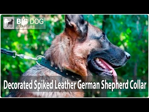 German Shepherd Enjoys Walking in Stylish Leather Dog Collar with Spikes