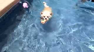 10 month old Puppy Pomeranian mix Simba LOVES swimming for dog toys in pool