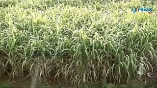 Sugarcane Yield 90tons per acre by Farmer Mohamad Idris Ahmad Khadri National award winner
