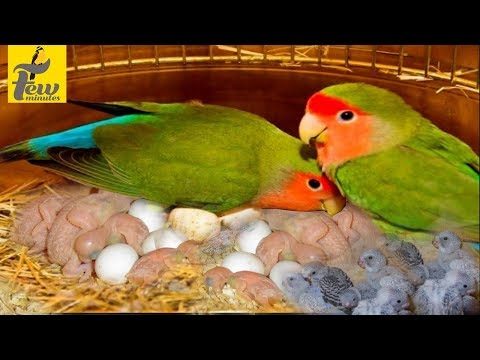 african lovebirds breeding and caring tips in tamil