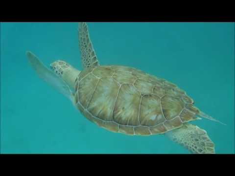 Day 3 May 21 2016 Swimming with sea turtles in Barbados!!!