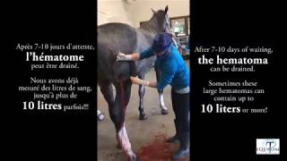 Mon cheval a un HEMATOME! Que FAIRE?