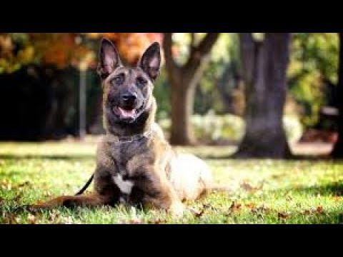 If You Own A BELGIAN MALINOIS!