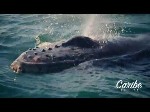 BALLENAS JOROBADAS 🐋y CAYO LEVANTADO 🏝EN SAMANÁ. Excursión con Caribe Activo