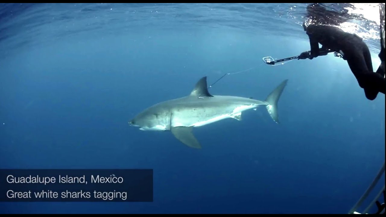 Great White Shark Research | Great White Sharks Research Tagging Guadalupe Island With Fabrice