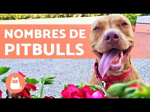 Nombres De Perros Pitbull Youtube