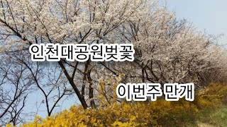 인천대공원벚꽃축제 인천대공원벚꽃 인천대공원폐쇄 인천대공…