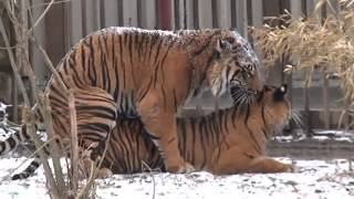 Repeat youtube video Tiger and Lions Mating Breeding