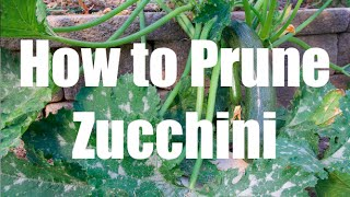 How To Prune a Zucchini Squash Plant  - in 4K