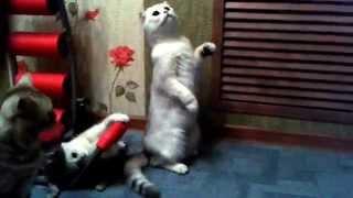 Кошка шотландская сидит как человек и играет с детками