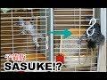 生後一ヶ月の子猫のケージからの脱走劇 A kitten escapes from the cage
