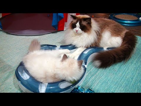 Rosey The 13 Week Old Ragdoll Kitten Meets Rochelle and Charlie!