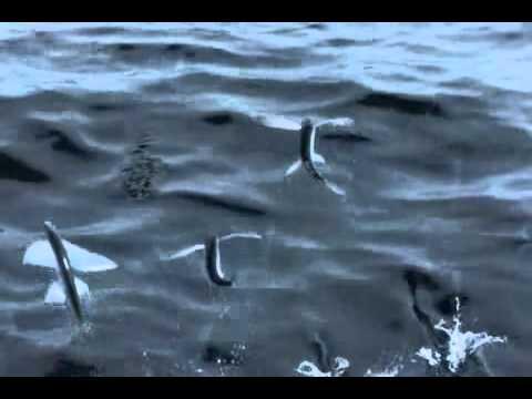 летучие рыбы (Flying fish)