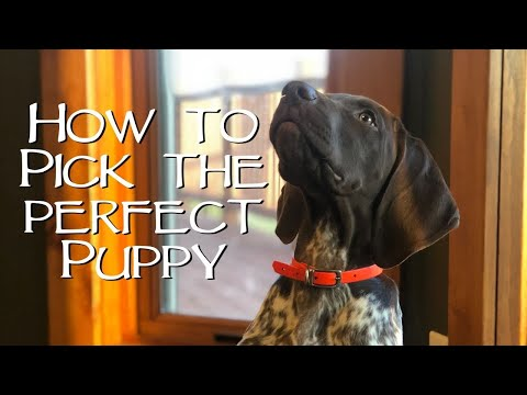 How To Pick The Perfect Puppy - You Ask We Answer