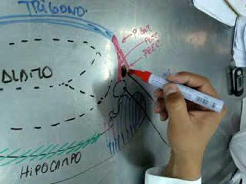 Circuito De Papez : Circuito de papez parte sistema limbico neuroanatomia