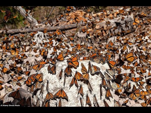 Monarch butterfly migration routes   Do you know