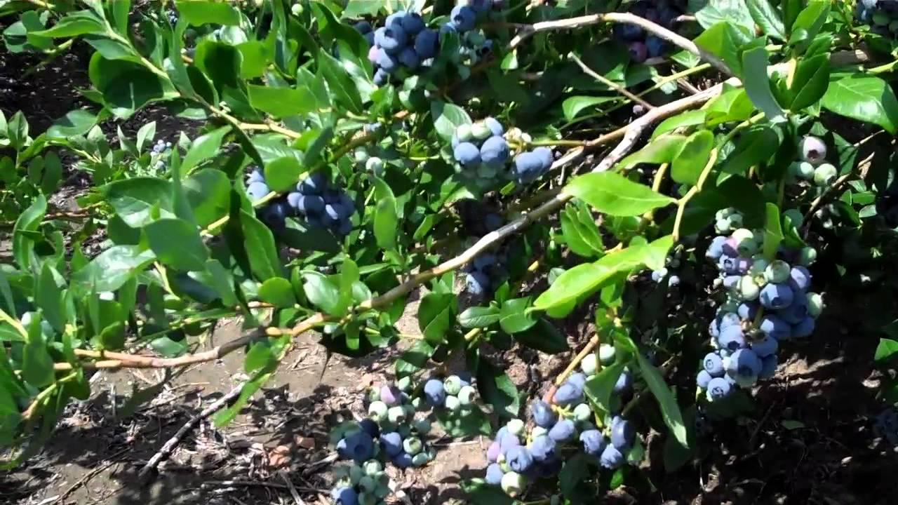 Ultra Heavy Bearing Blueberry Bushes
