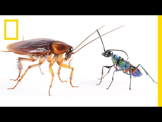 How Cockroaches Use Karate Kicks to Avoid Becoming Zombies | National Geographic