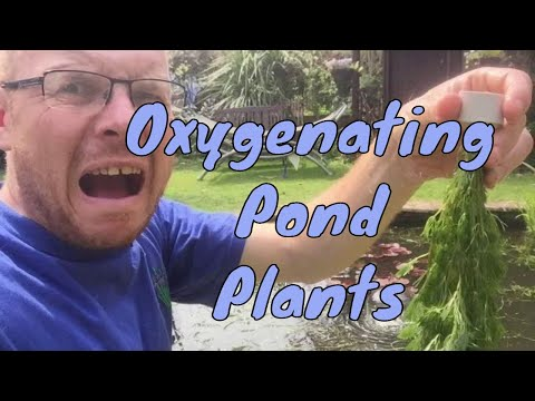Plants for Small Ponds - Oxygenating Pond Plants for small ponds