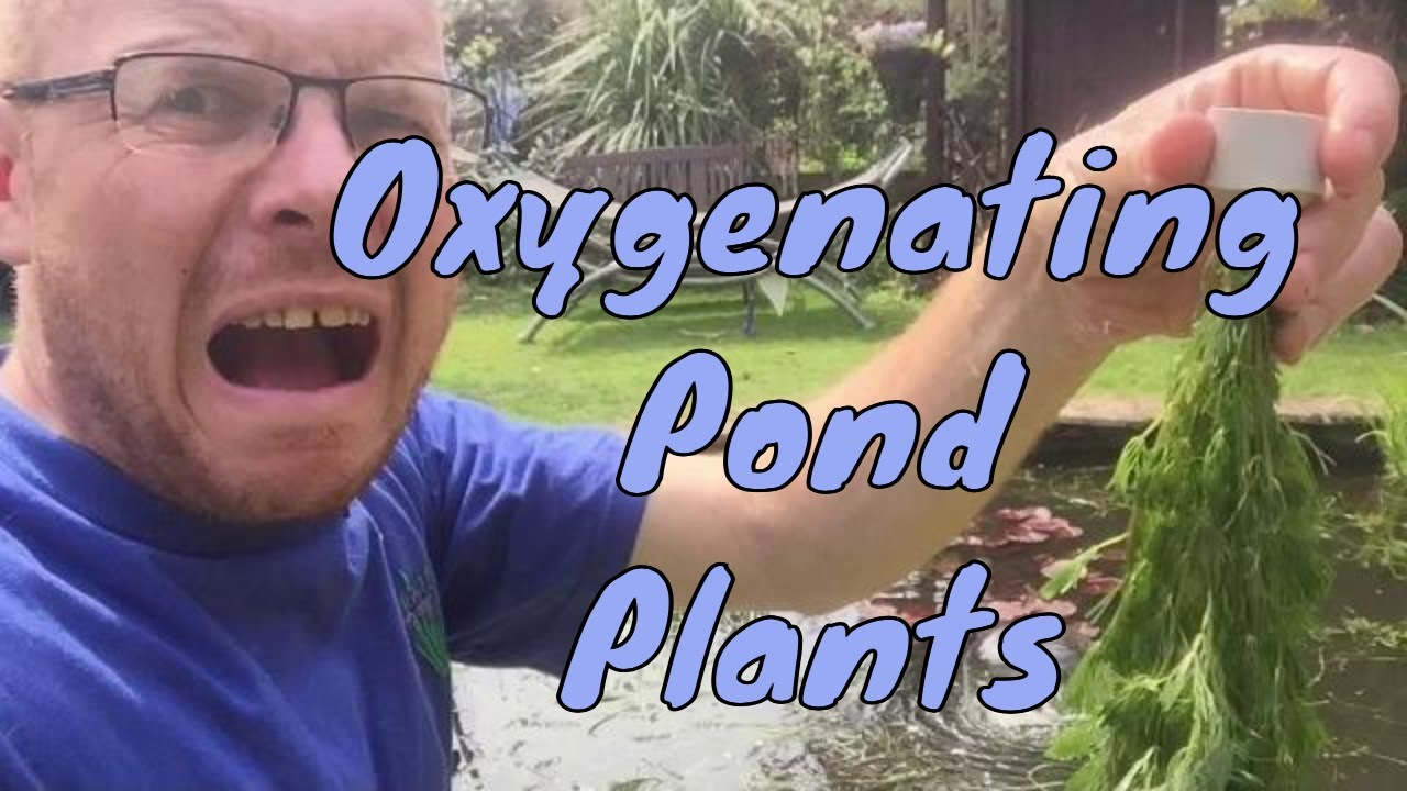 Download video oxygenating pond plants for small ponds for Oxygenating plants for a small pond