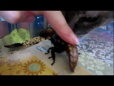 Альфа-самец мадагаскарского шипящего таракана