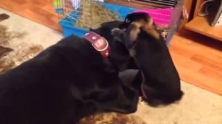 Кролик трахнул собаку в ухо