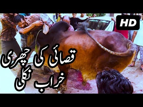 Brown Sahiwal Bull Qurbani on Eid ul Adha 2017 Qasai Ki Churri Kharab Nikli at Bakra Eid in Pakistan