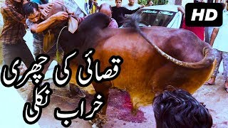 Brown Sahiwal Bull Qurbani on Eid ul Adha 2017 Qasai Ki Churri Kharab Nikli at Bakra Eid in Pakistan