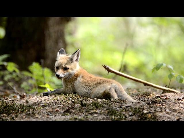 Lis / Red Fox / Vulpes vulpes - Rokickie liski cz. 2