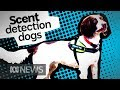 It's not just drugs, sniffer dogs can find water leaks and quolls too | ABC News