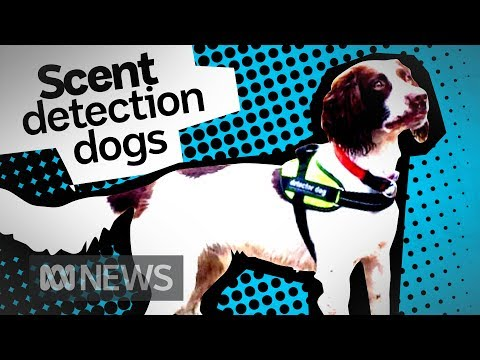 It's not just drugs, sniffer dogs can find water leaks and quolls too   ABC News